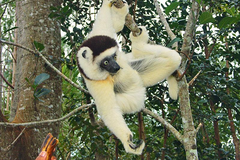 Madagascar, il ritorno dei lemuri