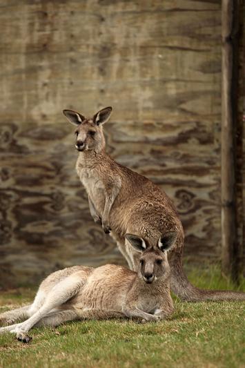 In Australia, sull?isola dei canguri