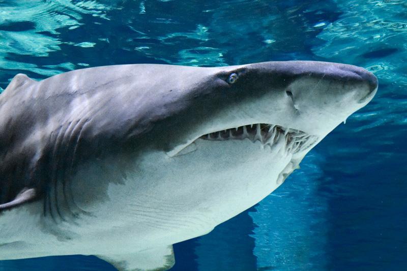 All'acquario di Cattolica, tra lontre mascherate e squali toro