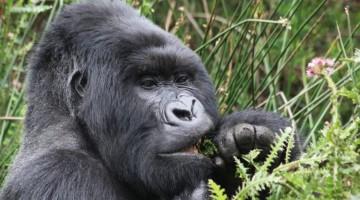 ruanda-gorilla-07-koIF-U430002153093996UoB-960×451@Viaggi-Web