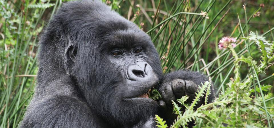 ruanda-gorilla-07-koIF-U430002153093996UoB-960x451@Viaggi-Web