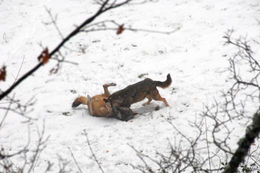 Abruzzo wild: sciare con i lupi