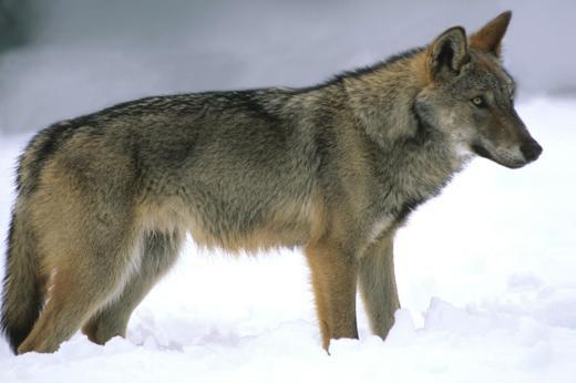 Foto Abruzzo wild: sciare con i lupi