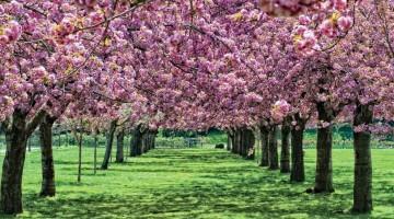 BBG_Spring_CherryEsplanade_AntonioMRosario-brooklyn-U430001301016877EVG-U430101266434974ztG-960×451@Viaggi-Web