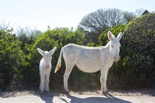 Asinara: le spiagge degli asinelli bianchi