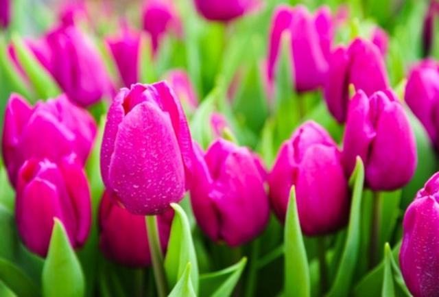 Week end sul Lago. Uova di carpa, tinca e tulipani a Castiglione
