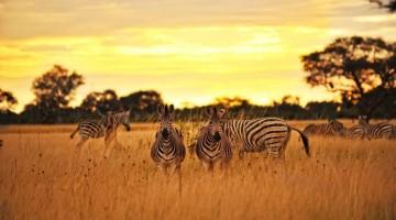 Le zebre nel campo Hwange, Botswana. Da sempre considerato uno dei safari più cari, in Botswana ci sono nuove opportunità grazie ai campi tendati fissi o semifissi che consentono di contenere i costi