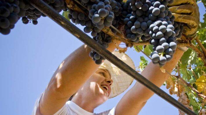 Foto Il rito dell'uva: LE FOTO