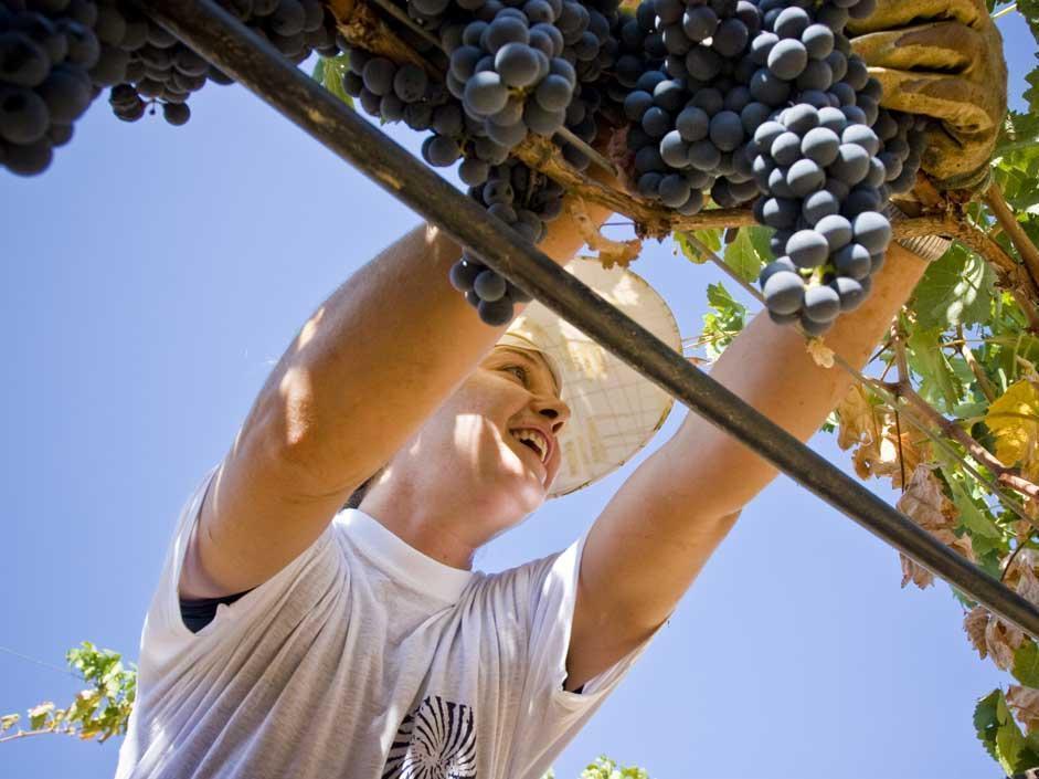 Il rito dell'uva: LE FOTO