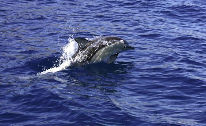 Tuffi tra i delfini