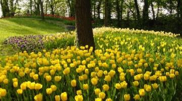 Nel maniero medievale piemontese prosegue  fino al 1° maggio Messer Tulipano:  la straordinaria fioritura di oltre 75.000 tulipani e narcisi, che qui ogni anno annuncia la primavera  e trasforma il parco   in un   giardino incantato