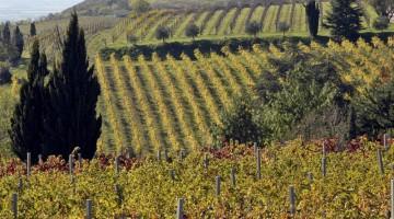 Calici di Stelle 2012: uno scorcio della vigna di Fattoria Montefasolo di Cinto Euganeo, in provincia di Padova