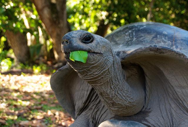Le gigantesche tartarughe di terra dell'isola di Curieuse.