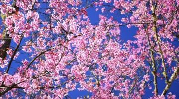 Una luna di miele originale? In Giappone durante la fioritura  dei Sakura (gli alberi di ciliegio).  Foto Getty