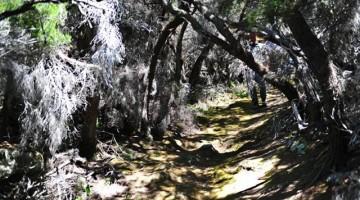 """Un sentiero nella macchia all'interno dell'isola. Una """"galleria"""" vegetale formata da erica arborea, una delle specie vegetali più diffuse di MontecristoFoto di Alessandra Fantechi."""