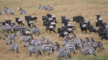 Nel Parco Nazionale del Serengeti, più di due milioni di gnu, un milione di gazzelle di Grant e Thomson, 300.000 zebre, 90.000 impala, 82.000 bufali, 20.000 eland, 12.000 giraffe, 7.000 elefanti, 6.000 iene, 3.000 leoni, 500 ghepardi e 100 rinoceronti