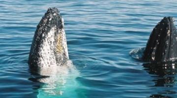 Whale Watching nei mari dell'Australia. Il modo migliore dove praticarlo è presso Phillip Island, al largo di Melbourne.
