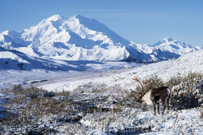 Caribou in scenic view of Mount McKinley