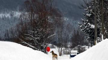 Un incontro ravvicinato (e inaspettato) con il lupo. I lupi a volte scendono fino a valle (foto Paolo Iannicca, Ecotur)