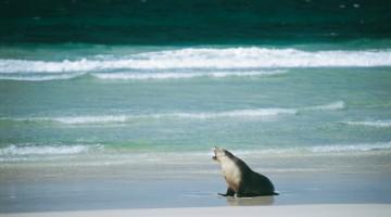 A Seal Bay, nel Flinders Chase National Park, vive una grande colonia di leoni marini australiani (foto: SATC/Richard Smyth)