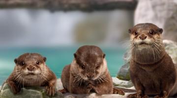 Cattolica: tra gli animali più buffi e simpatici dell'Acquario ci sono le lontre (foto: Acquario di Cattolica)