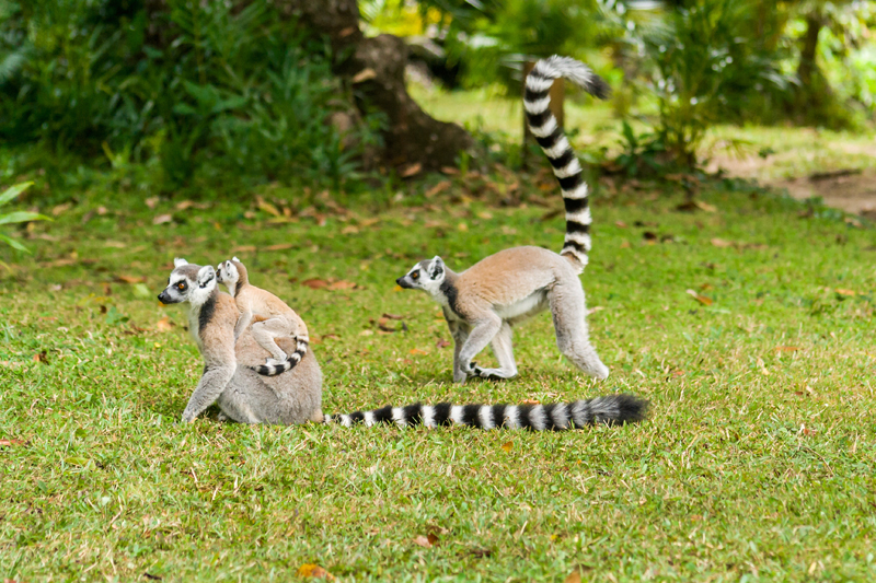 Un gruppetto di lemuri corre sul prato in Madagascar (foto: Getty Images)