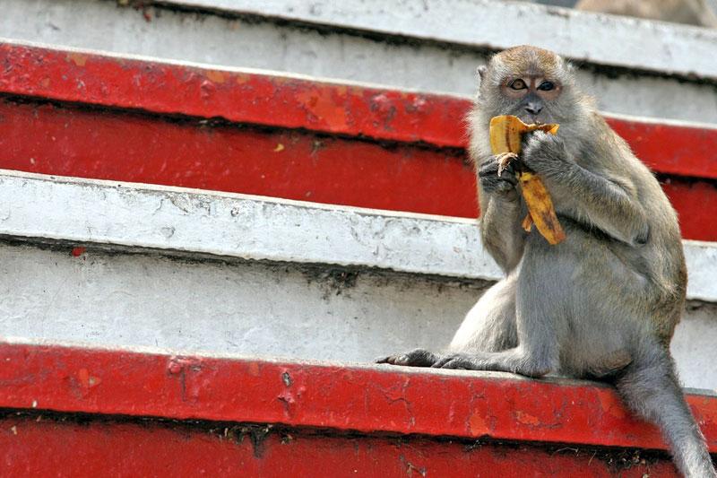 Gruppi di scimmie molto invadenti hanno colonizzato i templi e vivono del cibo offerto o rubato a devoti e turisti (foto: Flickr/AkumAPRIME)