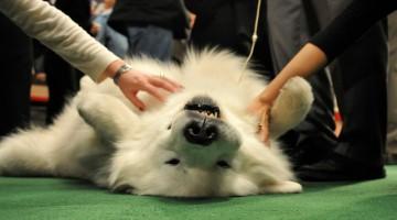 Uno dei cani che hanno partecipato all'edizione 2011 del Westminster Dog Show (foto: Westminster Kennel Club)
