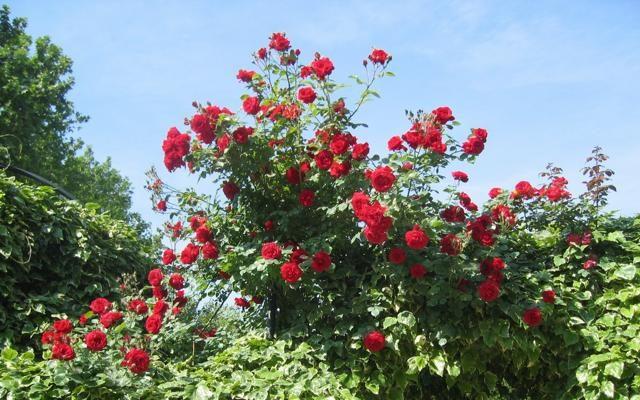 Foto Giardini: aprono i roseti più belli d'Italia