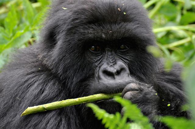 Ruanda: incontro con  i gorilla