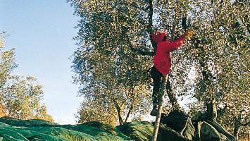 La raccolta delle olive è fatta rigorosamente a mano, con l'aiuto di un pettine