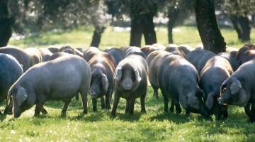 Liberi al pascolo, i maiali di razza iberica, scuri e pelosi, cercano le ghiande che rendono così buono e unico il prosciutto