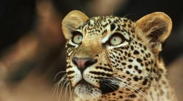 L   eopardi, ma anche  bufali, rinoceronti bianchi, elefanti africani, iene, sciacalli  vivono nella Sanbona Wildlife Reserve    (foto Getty)