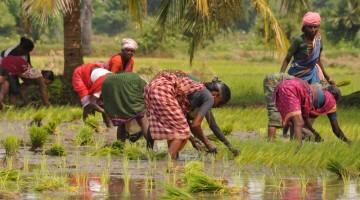 Donne al lavoro nelle risaie del Nord dell'India