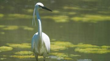 Pedalando lungo le sponde del lago si possono incontrare facilmente degli aironi (foto: Marco Bonomi)