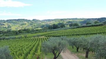 Tra vigne e ulivi, nelle Tenute agricole Masciarelli
