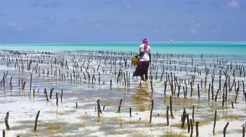 Raccolta di alghe sull'isola di Zanzibar