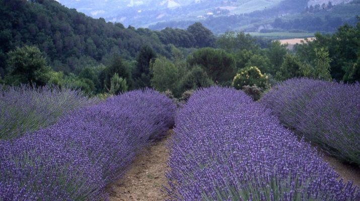 Foto Lavanda in Italia: dove ammirare le fioriture più belle