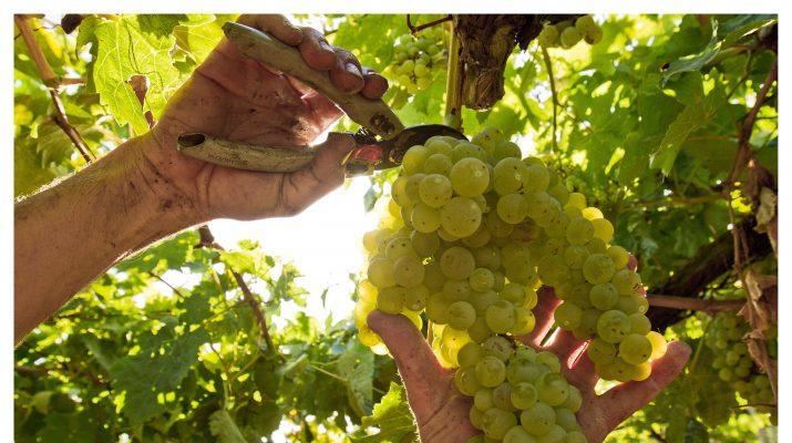 Foto Tempo di vendemmia dalla Sicilia al Friuli
