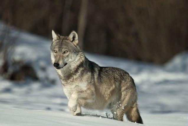 In Piemonte il lupo rischiava l'estinzione, ed è tornato a popolare i boschi