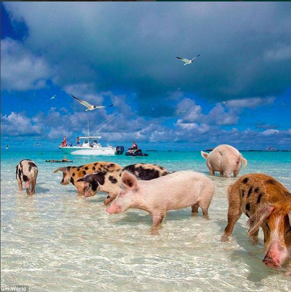 Pig Beach: in spiaggia con i maiali