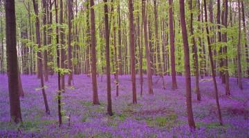 rita-willaert-hallerbos-forest