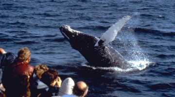 Whale Breaching; photo credit Hyannis Whale Watcher Cruises