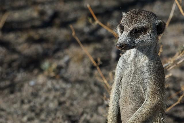 Nel deserto del Kalahari è facile avvistare i suricati, specie di manguste di piccole dimensioni tipiche di quest'area dell'africa.