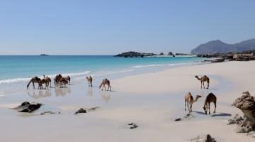 (oman tourism) cammelli mare