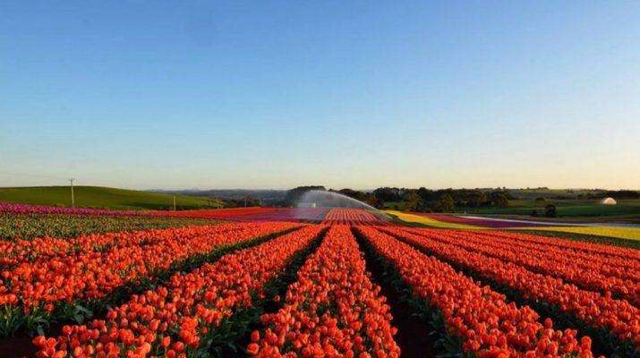 Foto 250.000 tulipani alle porte di Milano