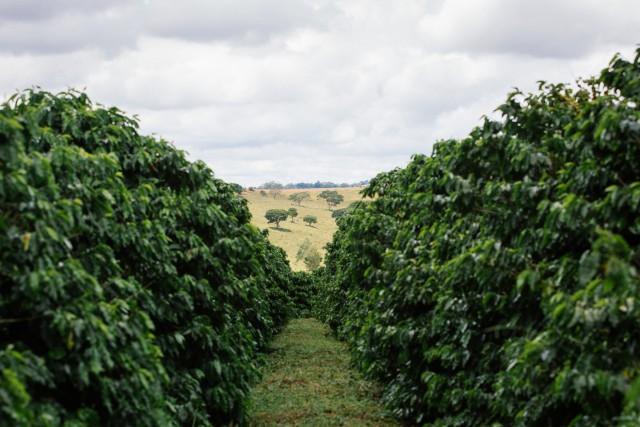 Viaggio al profumo di caffè: dal Brasile al Perù