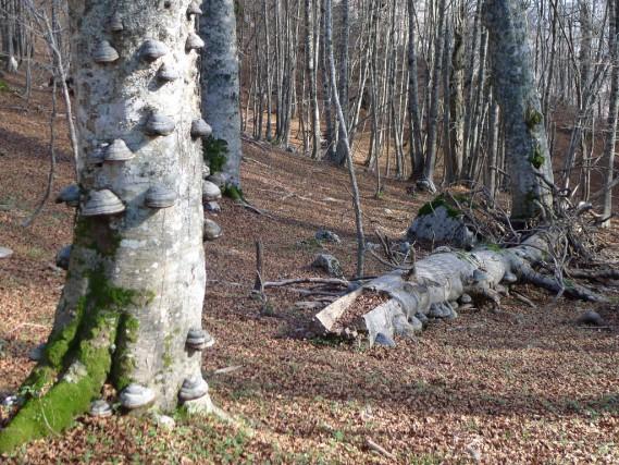 La faggeta di Cozzo Ferriero, nel Parco Nazionale del Pollino, all'interno del Comune di Rotonda. Il sentiero non sempre è ben segnalato