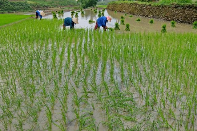 Coltivazione del riso sulle montagne di Sa Pa. Il Vietnam è uno dei maggiori produttori di riso a livello mondiale.