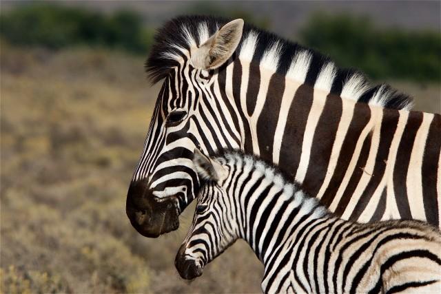 Zebre allo stato libero nella riserva privata di Sanbona